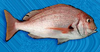 φαγκρί RED PORGY (Pagrus pagrus, L.)